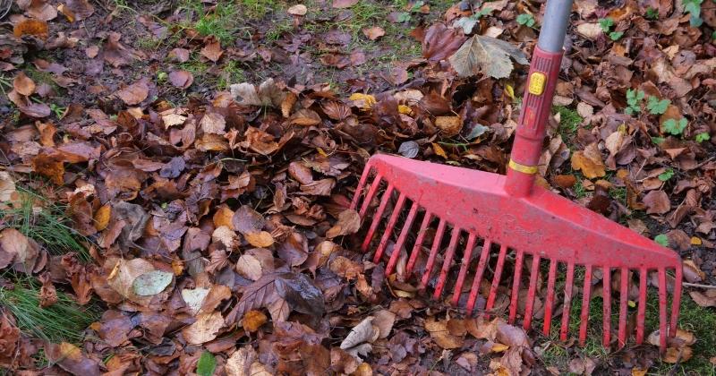 Garden rake with freshly fallen leaves