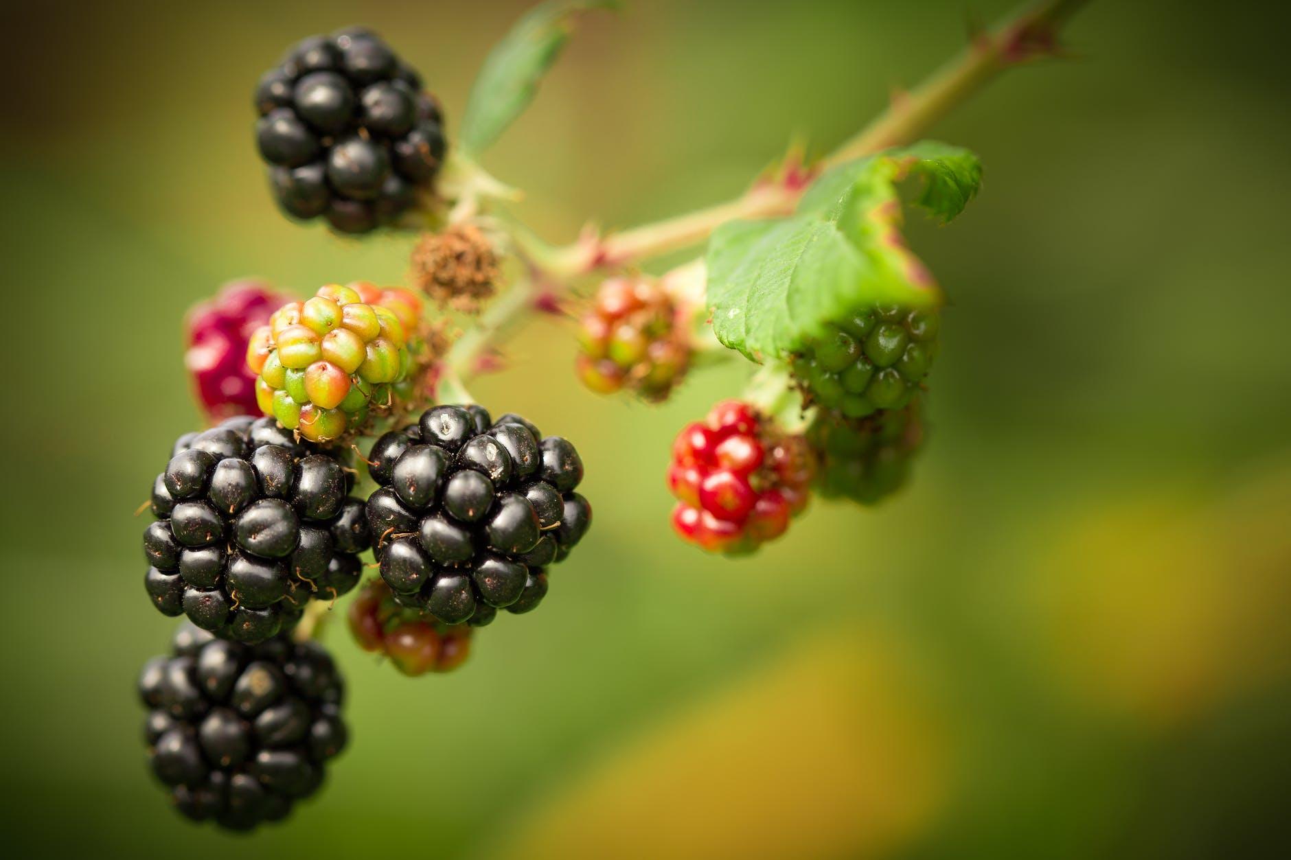 Blackberries on a bramble