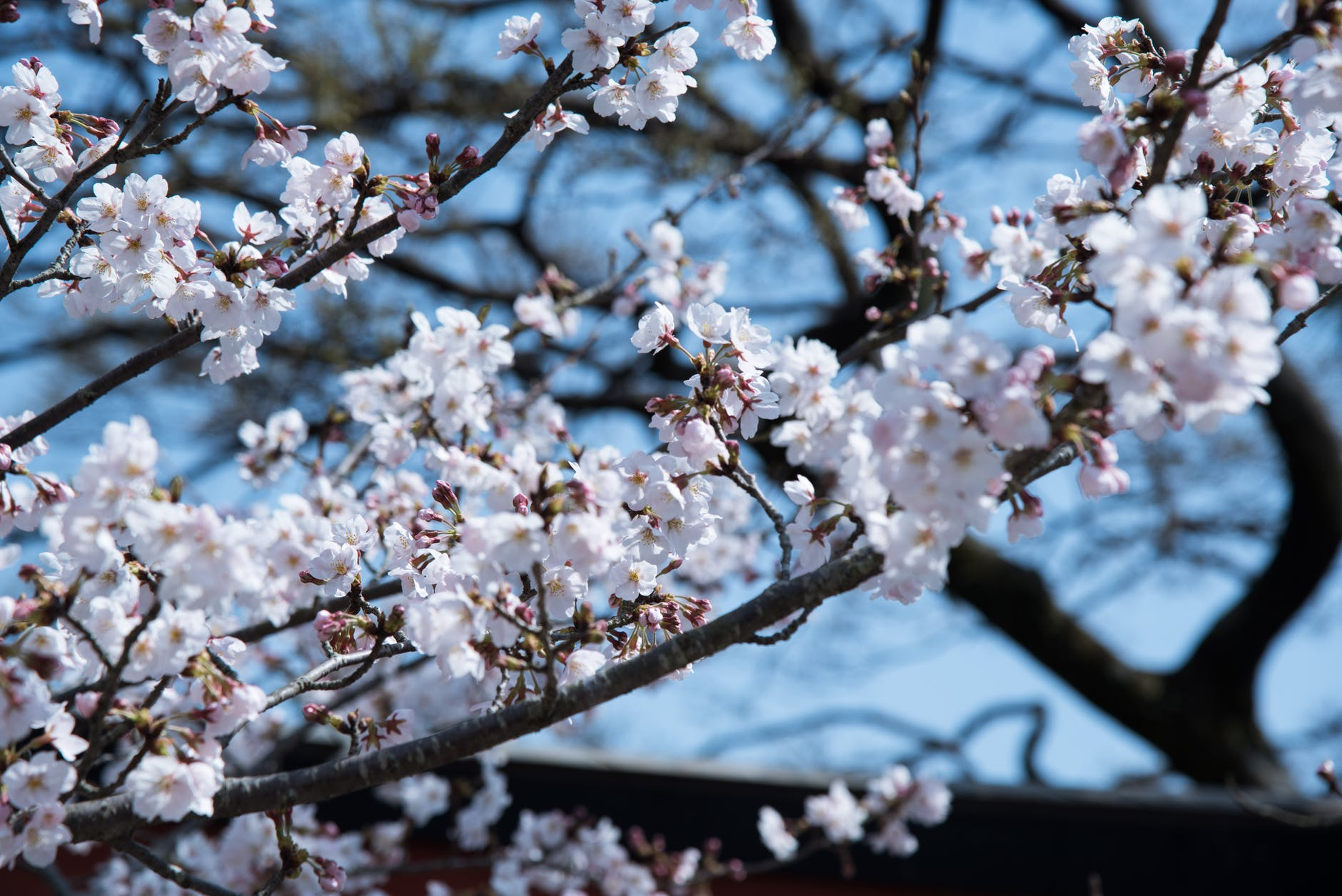 Cherry tree in blossom, with white flowers