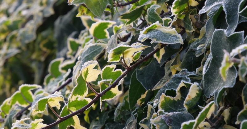 Frosted Ivy Leaves